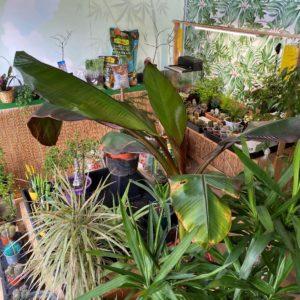 green toki plantas